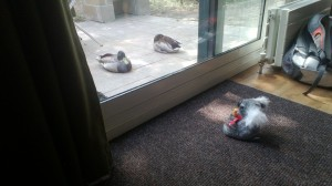 The Koala challenges some ducks to a staring contest. The ducks won. Oo